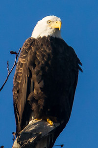 A bald eagle at Conowingo Dam (Image taken by Patrick R. Kane on 21 Nov 2012 with Canon EOS-1D Mark IV at ISO 640, f8.0, 1/1000 sec and 560mm)