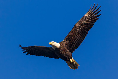 A bald eagle at Conowingo Dam (Image taken by Patrick R. Kane on 21 Nov 2012 with Canon EOS-1D Mark IV at ISO 640, f8.0, 1/1250 sec and 560mm)