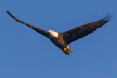 A bald eagle at Conowingo Dam (Image taken by Patrick R. Kane on 21 Nov 2012 with Canon EOS-1D Mark IV at ISO 640, f8.0, 1/1600 sec and 560mm)