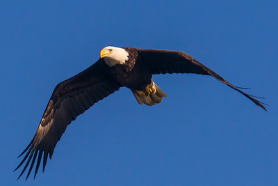 A bald eagle at Conowingo Dam (Image taken by Patrick R. Kane on 21 Nov 2012 with Canon EOS-1D Mark IV at ISO 640, f8.0, 1/2000 sec and 560mm)