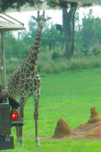 Giraffe, Kilimanjaro Safaris Expedition at Disney's Animal Kingdom (Image taken by Sydney J. Kane on 28 May 2012 with COOLPIX S570 at ISO 400, f6.6, 1/400 sec and 45mm)