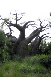 A baobab, upside-down tree, Kilimanjaro Safaris Expedition at Disney's Animal Kingdom (Image taken by Kathy L. Kane on 28 May 2012 with Canon PowerShot ELPH 100 HS at ISO 0, f3.5, 1/640 sec and 8mm)