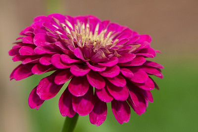 A flower in the cutting garden at Hillwood Estate, Museum & Gardens (Image taken by Patrick R. Kane on 29 Sep 2012 with Canon EOS-1D Mark III at ISO 400, f5.6, 1/640 sec and 160mm)
