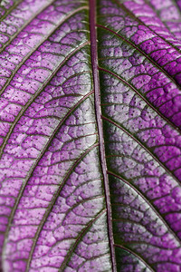 'Purpleness Away!', a photograph taken by Sydney Kane at Dumbarton Oaks Gardens. This photo won a Gold Key Award in the Regional Scholastic Art Competition hosted by the Arlington Central Library and encompassing all Middle School and High School students in Arlington County. Almost 2,000 works of art were submitted and judged by three jurors. Out of these, the judges chose 376 to be awarded either a Gold or Silver Certificate. The awards ceremony was held at Washington-Lee High School. (Image taken by Sydney J. Kane on 25 Sep 2010 with Canon EOS 20D and Sigma 150mm f2.8 APO Macro DG EX HSM lens at ISO 100, f4.5, 1/400 sec and 150mm)