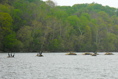 Cormorants perched on rocks in the middle of the Potomac River (Image taken by Patrick R. Kane on 04 Apr 2012 with COOLPIX S570 at ISO 125, f5.9, 1/250 sec and 20.3mm)