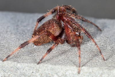 American house spider on the front porch (21 Oct 2012) (Image taken by Patrick R. Kane on 21 Oct 2012 with Canon EOS 5D Mark II at ISO 400, f11.0, 1/0.3 sec and 65mm)