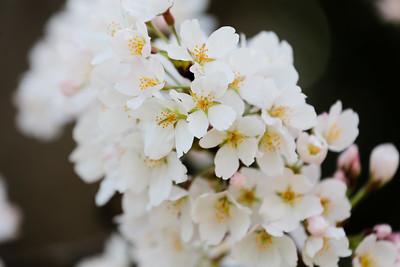 Cherry Blossoms (24 Mar 2016)