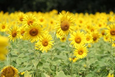 Sunflowers (22 Jul 2017)