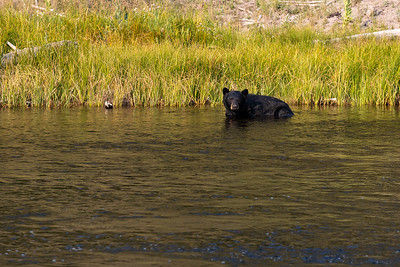 A black bear off the road between West Yellowstone and Madison in Yellowstone National Park, Wyoming