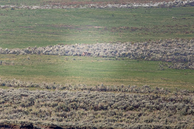 A very difficult to see gray wolf in Lamar Valley, Yellowstone National Park, Wyoming
