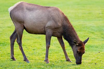 Elk at Mammoth Hot Springs, Yellowstone National Park, Wyoming