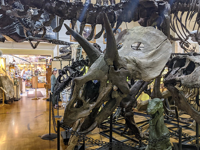Triceratops at Black Hills Institute, Hill City, South Dakota