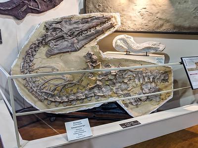 Mosasaur, Marine reptile (Tylosaurus proriger), Santonian, Late Cretaceous, Niobrara Formation, Kansas, original fossil. Black Hills Institute, Hill City, South Dakota