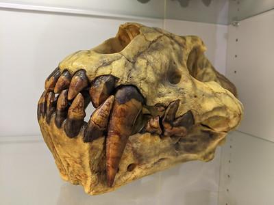 Saber-toothed cat (Xenosmilus hodsonae), Pleistocene, Florida. Black Hills Institute, Hill City, South Dakota