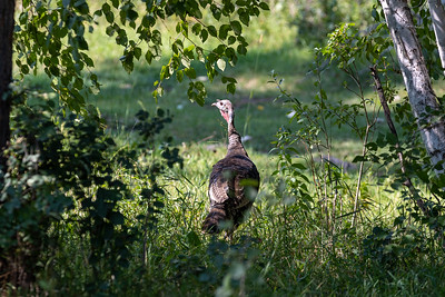 A wild turkey visited me in my campsite in the Black Hills National Forest, Keystone, South Dakota