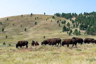 Bison at Custer State Park, Custer, South Dakota
