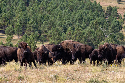 The bison are getting closer at Custer State Park, Custer, South Dakota. I Was on the motorcycle so I left when it became obvious they wanted to cross the road where the crowd had gathered.