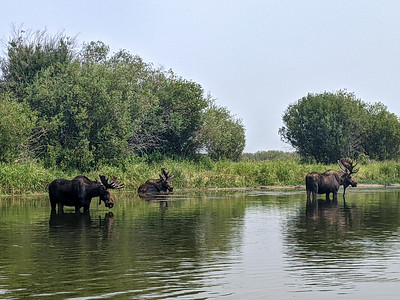 We saw quite a few moose on a float along the Teton River. The trip was one of the planned outings during the Xscapers Grand Teton Convergence, Driggs, Idaho.