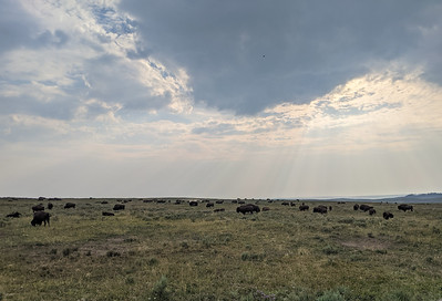 Bison in Hayden Valley, Yellowstone National Park, Wyoming