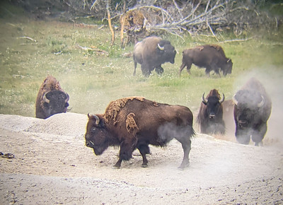 Bison in Hayden Valley as photographed with my cell phone through a pair of binoculars, Yellowstone National Park, Wyoming