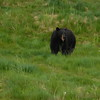 Black bear in enclosure at Alaska Wildlife Conservation Center