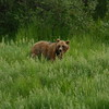 Another brown bear in Alaska Wildlife Conservation Center