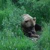 Brown bear in Alaska Wildlife Conservation Center - don't let this be you!