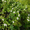 Creeping dogwood or Canadian bunchberry plant - inches tall