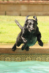 Steve brought his black labs to play in our pool and they had a blast!