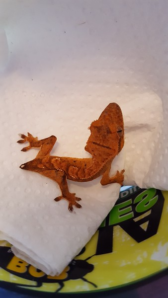 Nugget The Gecko
