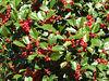 Holly tree, amazing berries
