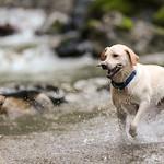 Chewie Bodi in creek running-2712