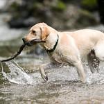 Chewie Bodi in creek running-7374
