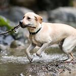 Chewie Bodi in creek running-7390