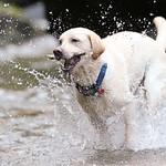 Chewie Bodi in creek running-2706