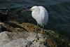 Observing Egret