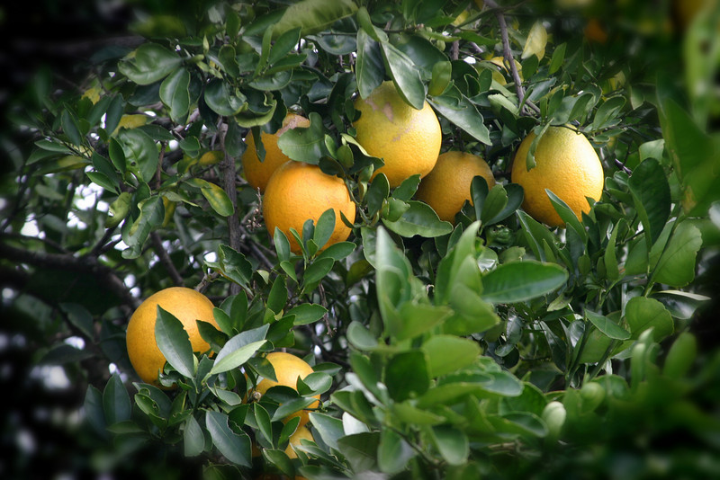 Oranges ready to pick. 12/15/07