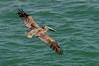 Pelican in flight.