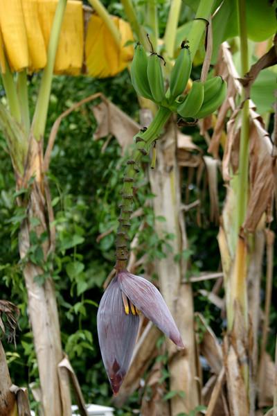 Banana Pod, With Green Bananas 11/19/07