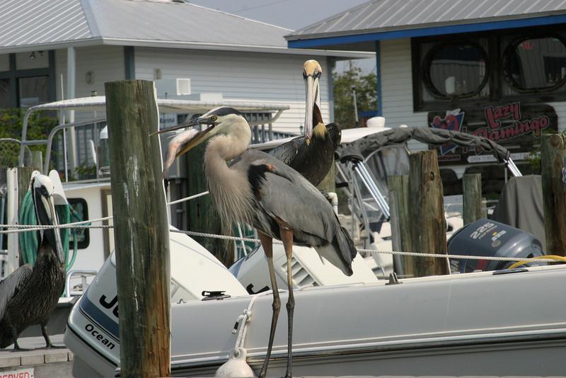 Pelicans enjoying dinner Pine Island Boat Yard 5/17/07