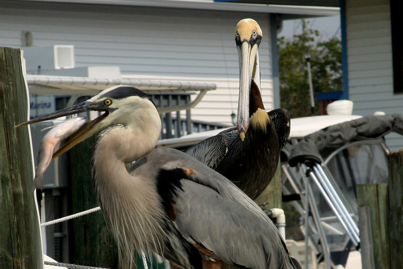 Lunch with the pelicans. Pine Island boat yard.  Amazing birds that are very tame. 12/15/07