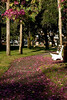 Orhid Trees shedding along the Venice Park