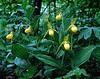 yellow lady slipper Greene County