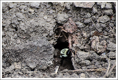 A bumble bee nest under the bushes I dug out.
