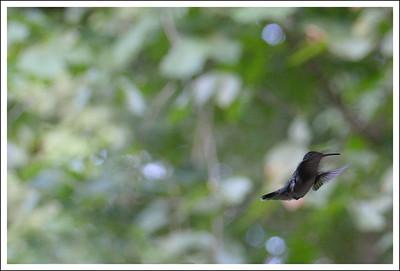 Hummingbirds were abundant, but hard to capture