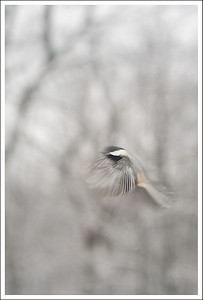 A chickadee on the way to the feeder.