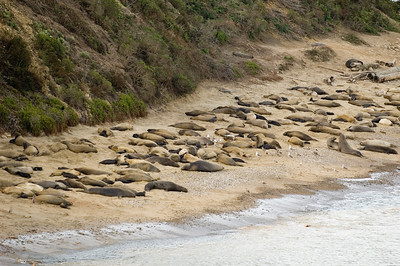 Elephant seals on the beach after giving birth.  The small black seals were just born this month.  Some in the picture were born this very day.