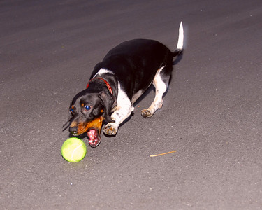 Reeses chasing a tennis ball