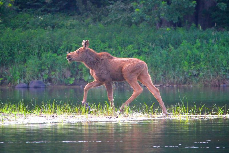 Moose In Androscoggin