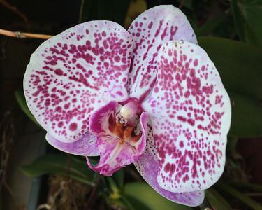 Hazel's Orchid, Fri 18 November 2016 - phone pic